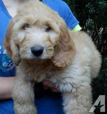 goldendoodle puppy nh goldendoodle puppies hypoallergenic so sweet smart