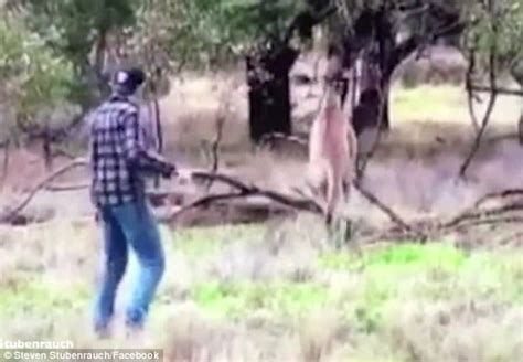 punches kangaroo to save fair dinkum punches kangaroo in the to save being strangled