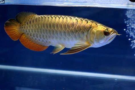 Anakan Arwana makanan ikan arwana untuk anakan dan dewasa binatang