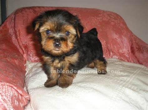 yorkie terrier mini en adopcion tabl 211 n de anuncios terrier mini economico