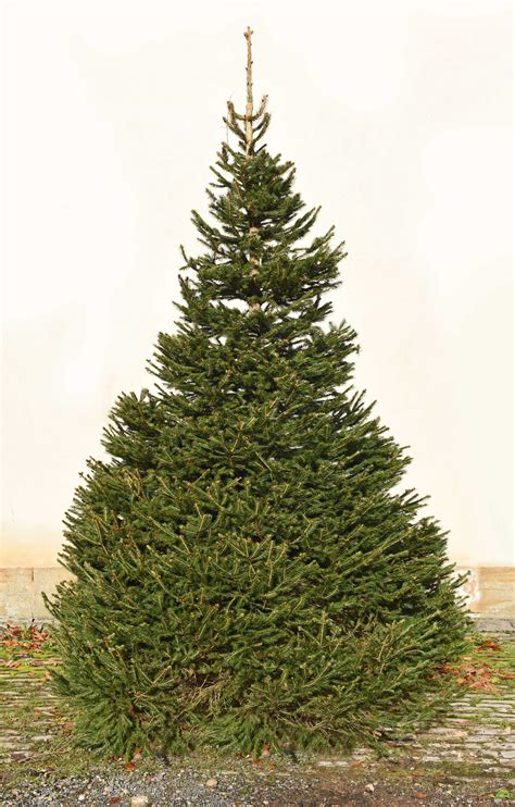 christmas trees  bawtry forest doncaster yorkshire