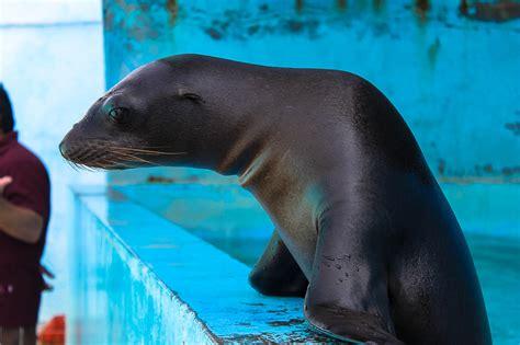 301 Moved Permanently en acuario crece la familia de lobos marinos