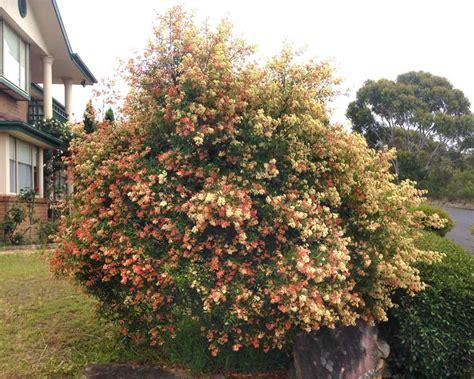 gardensonline ceratopetalum gummiferum