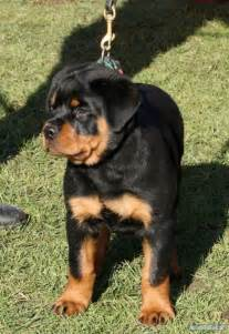 baby rottweilers for sale rottweiler puppies for sale in india zoe fans baby animals