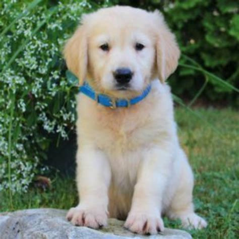 golden retrievers for sale in pa golden retriever adults for sale pa photo