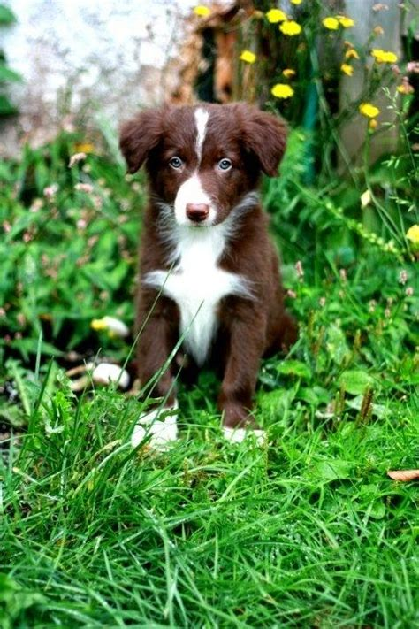 most obedient dogs most obedient breeds breeds picture