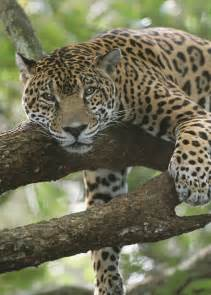 Pic Of Jaguar Adopt A Jaguar Wildlife Adoption And Gift Center