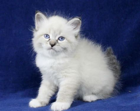 Godaddy Plans Gallery Pureheart Siberians Of New Hampshire