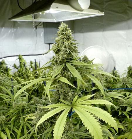 cannabis room temperature cannabisanbau im grow room relative luftfeuchtigkeit und temperaturen royal seeds rqs