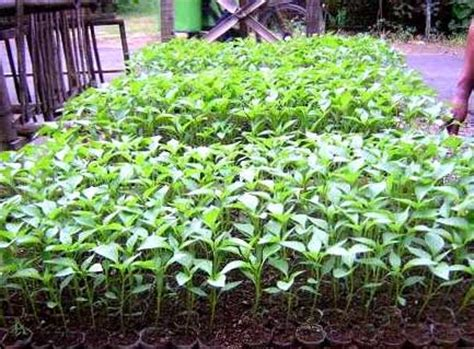 Bibit Cabai Rawit Merah cara menanam cabe rawit dari biji rumah dan kebun