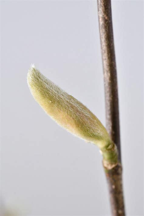 sternmagnolie kaufen sternmagnolie george henry kern magnolia stellata george