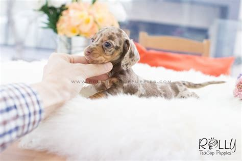 teacup dachshund puppies for sale near me soldto dement m m dachshund f rolly teacup puppies