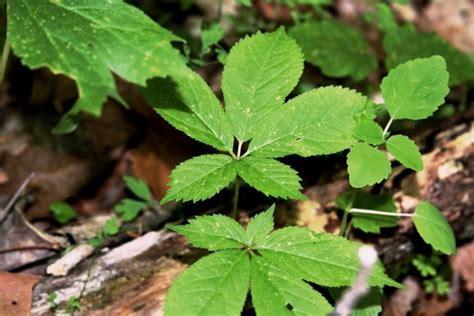 Pasaran Ginseng mengenal khasiat dan manfaat daun ginseng bagi kesehatan