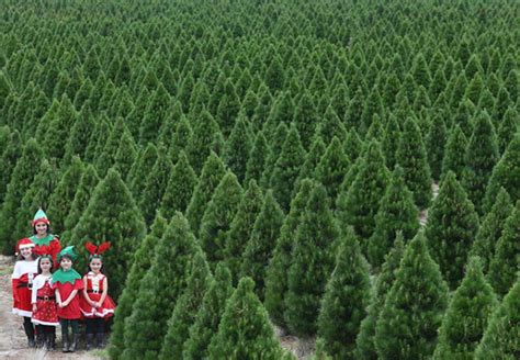christmas tree farm melbourne christmas tree farm