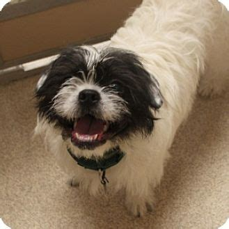 shih tzu bulldog cross naperville il shih tzu meet hank a for adoption