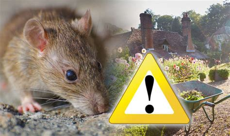 how do i get rid of rats in my backyard how to get rid of rats in the garden for and why