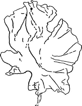 lettuce leaf coloring page image gallery lettuce outline