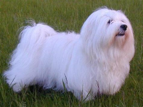 haired havanese 17 best images about homage to my havanese on diy toys portrait and