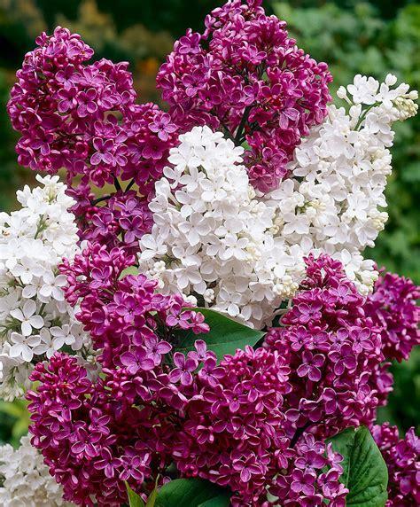 serenelle fiori acquista serenella in 2 variet 224 bakker