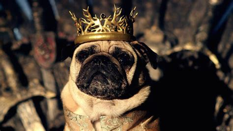 lord pug quot of thrones quot fan well you ll be an even bigger one after you see this pug version