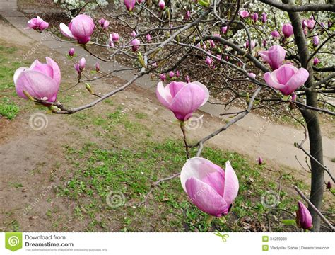 magnolia tree in flower royalty free stock photos image