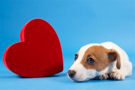 puppies with hearts how to detect murmur symptoms the problems