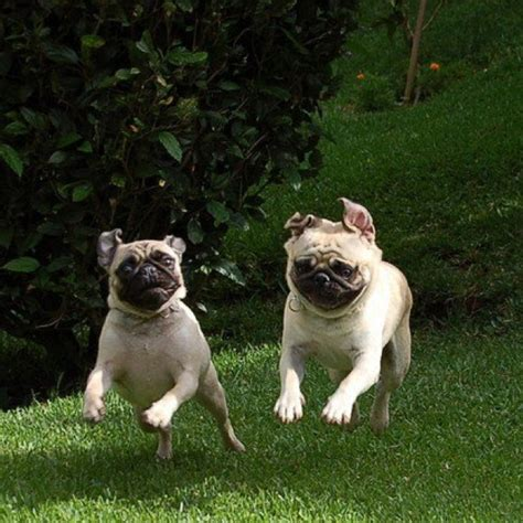 running pugs top 25 ideas about pugs on the run on happy puppys and gifs