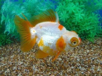 china doll goldfish 638 best goldfish images on goldfish fish