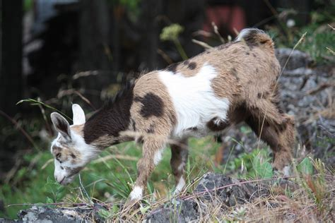 goat colors coat colors goat coat patterns and colors