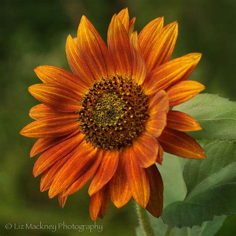 colors of sunflowers rust colored sunflower the of macro photography