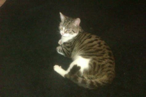 Gray Tiger Striped Cat