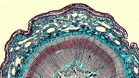 Transfer Section Of Leaf by Pine Tree Leaf Cells Microscope Search