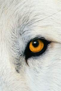 wolf eye color best 25 wolf ideas on wolf wolves