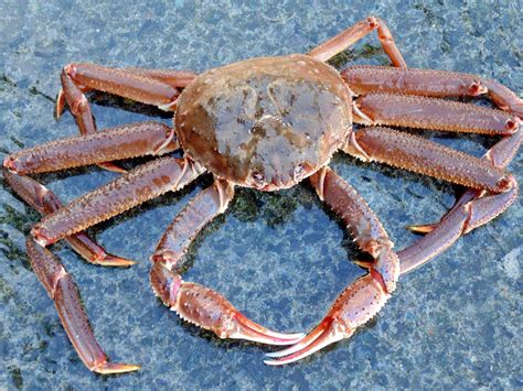 The Hunt For Snow Crabs Deadliest Catch Discovery | image gallery opilio crabs