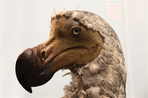 in photos the famous flightless dodo bird