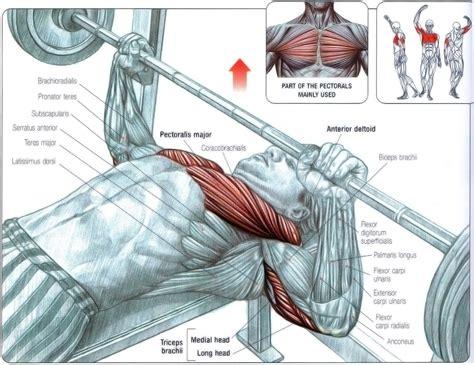 muscles worked in bench press آناتومی عضلات درگیر در حرکت پرس سینه عضلات
