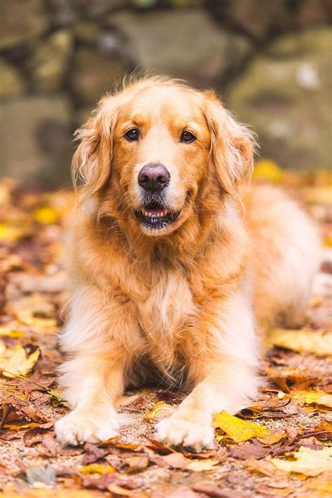 golden retriever guard best breeds choosing your ideal pet dogs 101