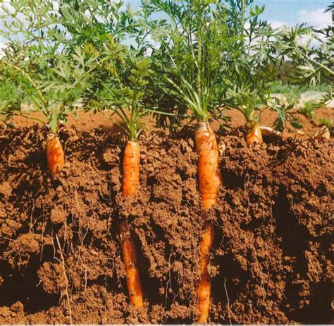 is a carrot a root vegetable world carrot museum description of carrot root