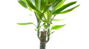 yucca entretien arrossage et rempotage