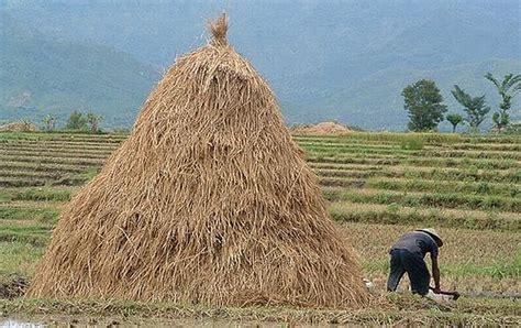 As Tahu Sebagai Pakan Ternak begini manfaat dan kegunaan jerami padi untuk pertanian