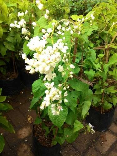 tanaman air mata pengantin putih bibitbunga