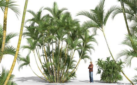 areca palm dypsis lutescens chrysalidocarpus areca palm bamboo palm