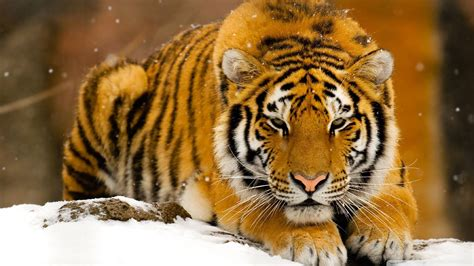 siberian tiger  snow ultra hd desktop background