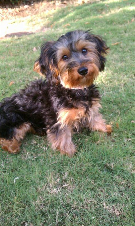 yorkie with curly hair yorkie poo looks kinda like my baby but has more poodle curly