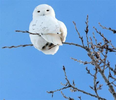 snowy owl habitat gets 500k winnipeg news winnipeg sun