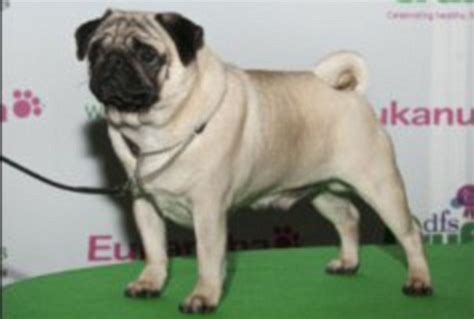 curly pug how a century of improvement has turned once healthy dogs into deformed