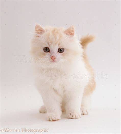 White Fluffy by Best 25 White Fluffy Kittens Ideas On Baby
