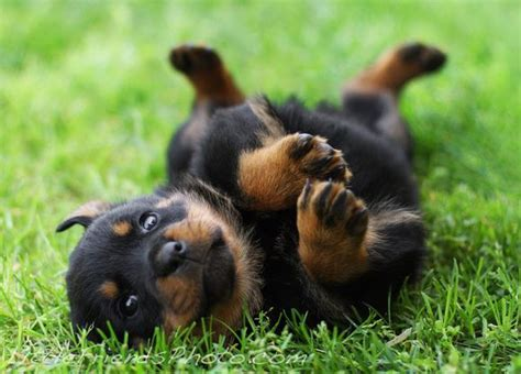 baby rottweiler puppies baby rottweilers baby rottweiler quot animals shops plays and babies