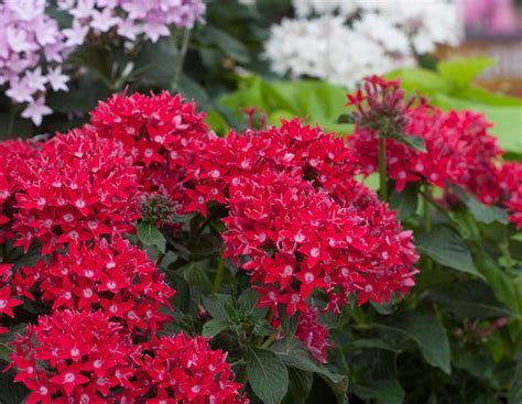 Heat Tolerant Plants | 22 best flowers for full sun heat tolerant flowers for