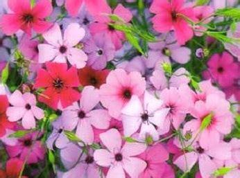Isi 50 Biji Benih Biji Herb Sweet Marjoram 1 bibit bunga viscaria mix